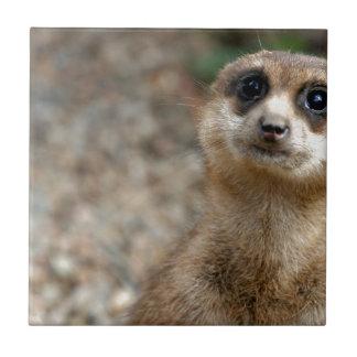 Meerkat Grande-Eyed bonito