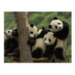 Melanoleuca) do Ailuropoda dos bebês da panda giga Cartao Postal