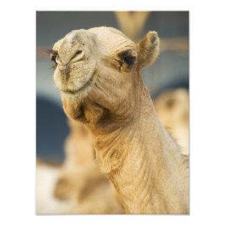 Mercado do camelo perto do Cairo, Egipto Impressão De Foto