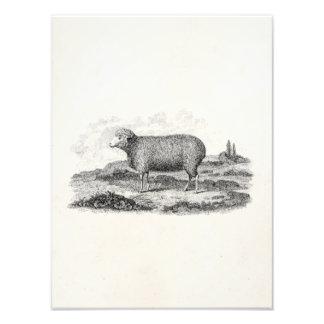 Modelo do cordeiro da ovelha dos carneiros de impressão de foto