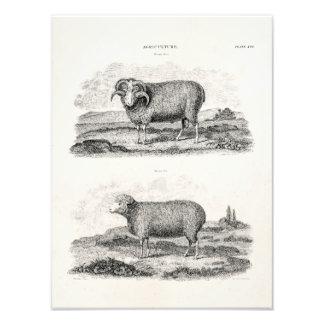 Modelo do cordeiro da ram da ovelha dos carneiros impressão fotográficas