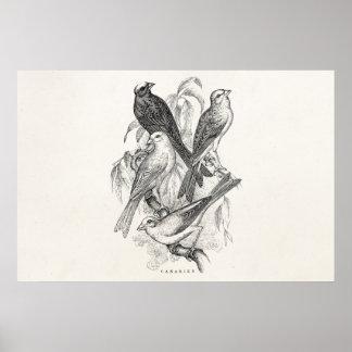 Modelo dos pássaros de Canaries do pássaro amarelo Poster