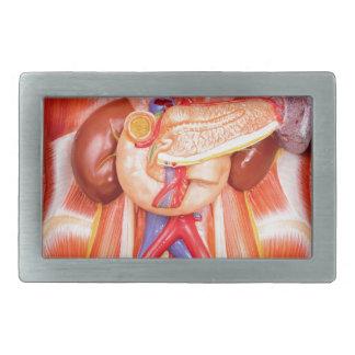 Modelo humano do torso com órgãos