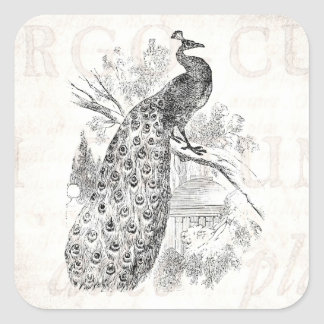 Modelo retro da ilustração do pavão dos 1800s do adesivo quadrado