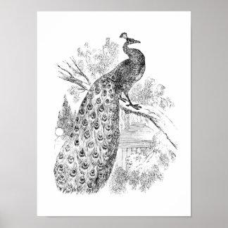 Modelo retro da ilustração do pavão dos 1800s do v poster