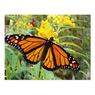 Monarca butterfy - cartão