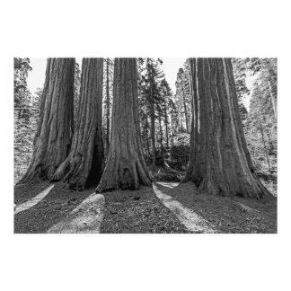 Monarca da floresta (preto & branco) impressão de foto