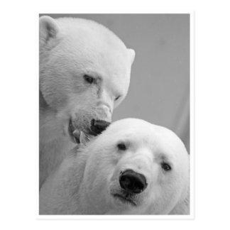 Mordidelas do urso polar cartão postal
