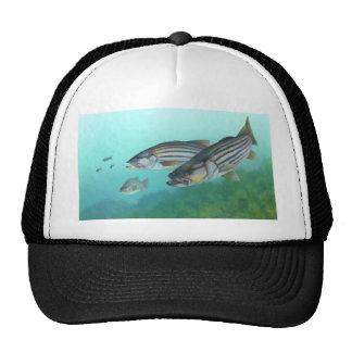 Morone atlântico Saxatilis dos peixes do baixo lis Boné
