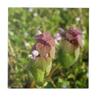 Morto-provocação roxa (purpureum do Lamium) no