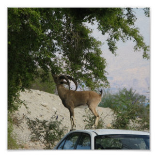 Motorista do íbex pôster