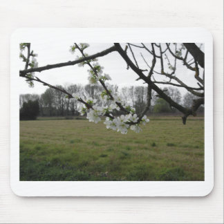 Mousepad Ameixa de florescência. Árvore branca de