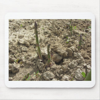Mousepad Aspargo verde novo que sprouting da terra