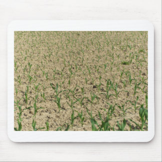 Mousepad Campo do milho do milho verde na fase inicial