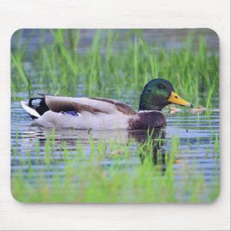 Mousepad Pato masculino do pato selvagem que flutua na água