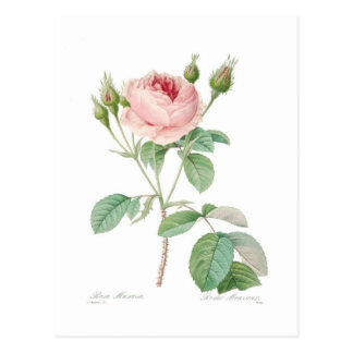 Muscosa de Rosa Cartão Postal