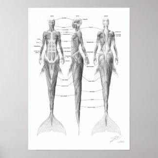 Musculatura da sereia pôsteres