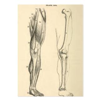 Músculos da anatomia |   do vintage e ossos do pé cartão de visita grande
