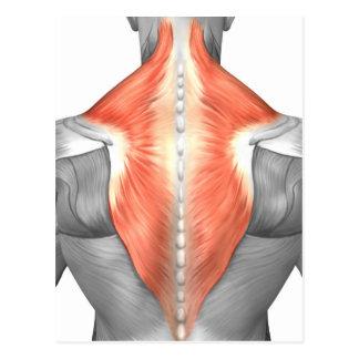 Músculos da parte traseira e do pescoço cartão postal