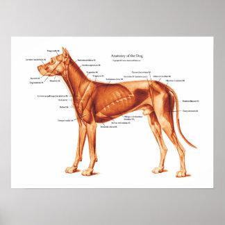 Músculos do poster da anatomia do cão
