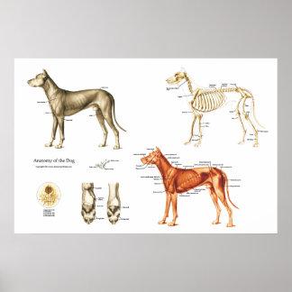 Músculos e ossos do poster da anatomia do cão
