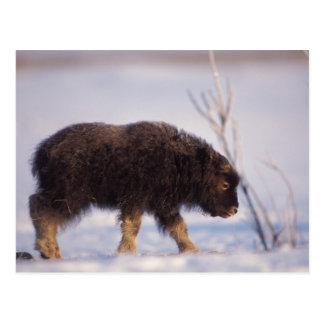 muskox, moschatus do Ovibos, vitela recém-nascida  Cartão Postal