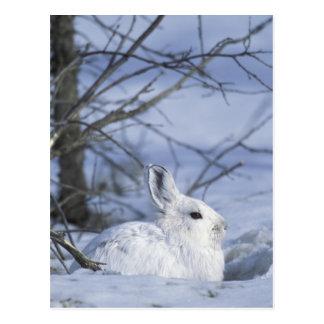 NA, EUA, Alaska. Animais selvagens nacionais ártic Cartoes Postais