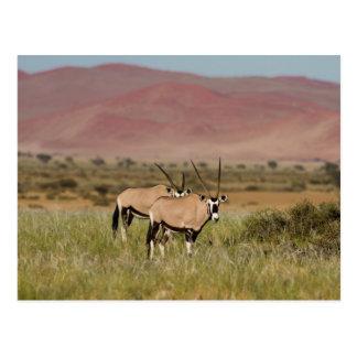 Namíbia - antílopes do Oryx no cartão de