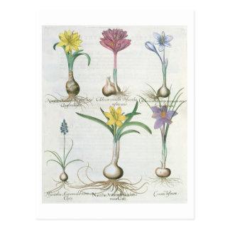 Narciso, açafrões e jacinto: autum 1.Narcissus Cartão Postal