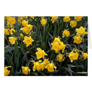 Narciso amarelo cartao