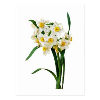 Narciso branco por Pierre-Joseph Redoute Cartão Postal