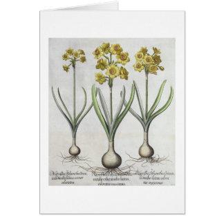 Narciso de Tazetta, 'do Hortus o Eystettensis Cartão Comemorativo
