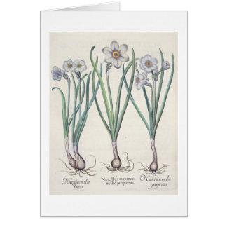 Narciso: purpureus do medio do maximus 1.Narcissus Cartao