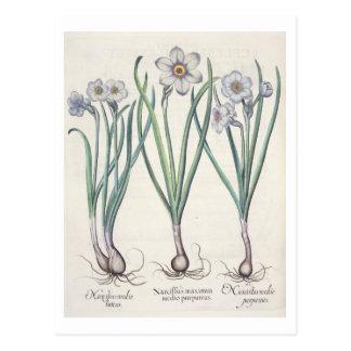 Narciso: purpureus do medio do maximus cartão postal