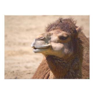 O camelo do dromedary - foto impressão de foto