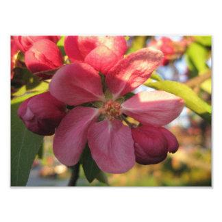 O caranguejo Apple cor-de-rosa bonito floresce a á Impressão De Foto