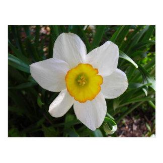 O cartão do Daffodil Cartão Postal