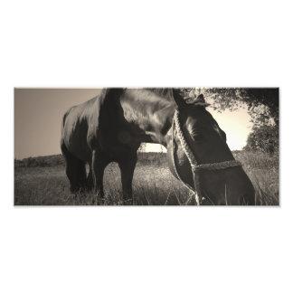 O cavalo descansa a foto preto e branco impressão de foto