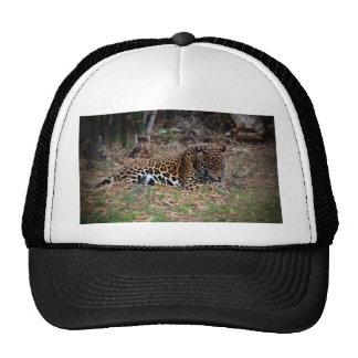 o gato grande do jaguar que lambe as patas refrige bonés