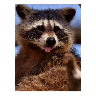 O guaxinim engraçado que cola o é língua para fora cartão postal