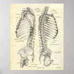 O impressão da anatomia do vintage desossa a colun