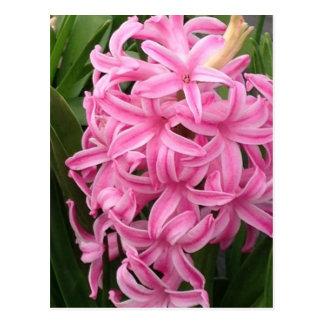 O jacinto cor-de-rosa bonito floresce cartão