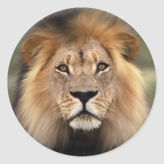O leão adesivo