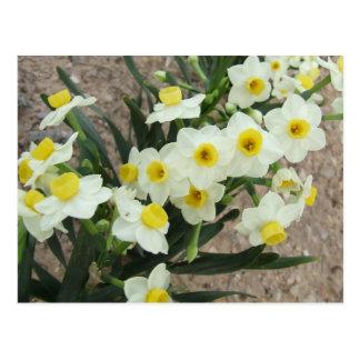 O narciso branco floresce o cartão cartões postais
