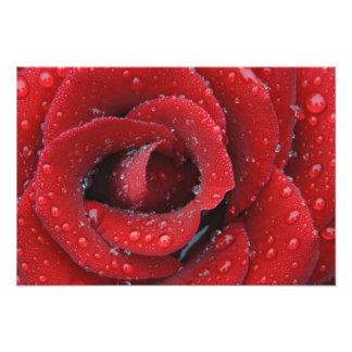 O orvalho cobriu a rosa vermelha que decora o loca impressão de foto