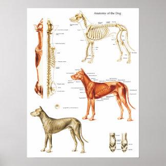 O poster da anatomia do cão Muscles e desossa 18 x