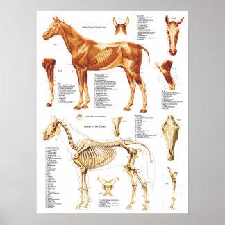 O poster da anatomia do cavalo Muscles e desossa