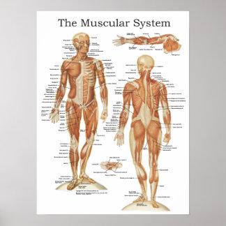 O poster muscular 18 x 24 da anatomia do sistema