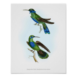 O poster O MAIS DE ALTA QUALIDADE de colibris de