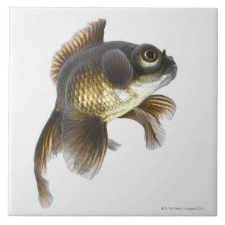 O preto amarra o peixe dourado (auratus do